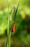 _SRE8012 / Phymatopus hecta / Dvergroteter