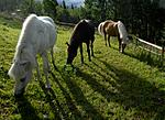 _SRE8569 / Equus caballus / Hest