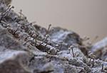 _SRE9352 / Sclerophora farinacea / Blådoggnål