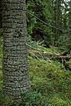 bb013 / Picea abies / Gran <br /> Picoides tridactylus / Tretåspett