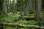 bb014 / Picea abies / Gran