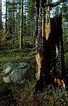 bb020 / Pinus sylvestris / Furu