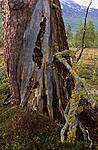 bb029 / Letharia vulpina / Ulvelav <br /> Pinus sylvestris / Furu