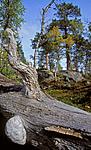 bb032 / Gloeophyllum protractum / Langkjuke <br /> Pinus sylvestris / Furu