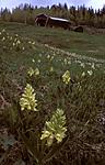 bb066 / Dactylorhiza sambucina / Søstermarihand