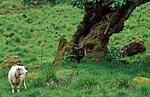 bb101 / Fraxinus excelsior / Ask <br /> Ovis aries / Sau