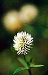 bb141 / Trifolium montanum / Bakkekløver