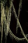 bb167 / Usnea longissima / Huldrestry