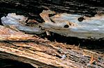 bb169 / Antrodia albobrunnea / Flekkhvitkjuke