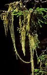 bb178 / Usnea longissima / Huldrestry