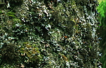 bb180 / Bryoria bicolor / Kort trollskjegg