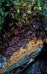 bb190 / Inonotopsis subiculosa / Jettekjuke