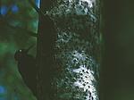 bb202 / Dryocopus martius / Svartspett <br /> Populus tremula / Osp