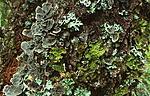bb287 / Lobaria pulmonaria / Lungenever <br /> Lobaria scrobiculata / Skrubbenever