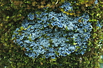 bb295 / Pannaria conoplea / Grynfiltlav