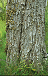 bb299 / Lobaria pulmonaria / Lungenever <br /> Salix caprea / Selje
