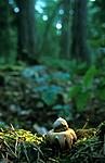 bb311 / Geastrum fimbriatum / Brun jordstjerne