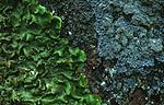 bb345 / Lobaria virens / Kystnever <br /> Pannaria rubiginosa / Kystfiltlav