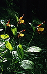 bb352 / Cypripedium calceolus / Marisko