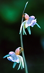 bb366 / Epipogium aphyllum / Huldreblom