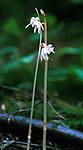 bb369 / Epipogium aphyllum / Huldreblom