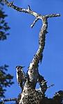 bb376 / Picoides tridactylus / Tretåspett