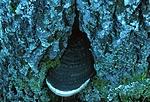 bb396 / Phellinus populicola / Stor ospeildkjuke