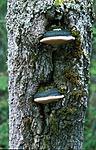 bb397 / Phellinus populicola / Stor ospeildkjuke