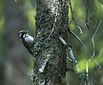 bb415 / Picoides tridactylus / Tretåspett