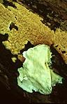 bb417 / Ceriporia purpurea / Purpurkjuke <br /> Skeletocutis nivea / Småporekjuke