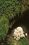 bb420 / Artomyces pyxidatus / Begerfingersopp