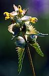 bb427 / Rhinanthus minor / Småengkall