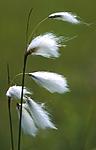 bb431 / Eriophorum latifolium / Breimyrull