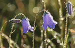 bb441 / Campanula rotundifolia / Blåklokke