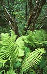 bb453 / Corylus avellana / Hassel <br /> Matteuccia struthiopteris / Strutseving