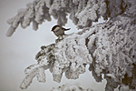 bb500 / Picea abies / Gran <br /> Poecile montanus / Granmeis