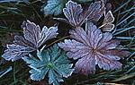 bb515 / Geranium sylvaticum / Skogstorkenebb