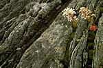 bb526 / Saxifraga cotyledon / Bergfrue