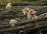bb527 / Saxifraga cotyledon / Bergfrue