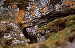 bb544 / Vulpes lagopus / Fjellrev