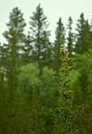 bb557 / Picea abies / Gran <br /> Surnia ulula / Haukugle