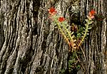 bb588 / Rhodiola rosea / Rosenrot