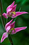 bb590 / Cephalanthera rubra / Rød skogfrue