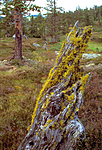 bb607 / Letharia vulpina / Ulvelav <br /> Pinus sylvestris / Furu