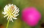 bb646 / Trifolium montanum / Bakkekløver