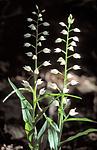 bb649 / Cephalanthera longifolia / Hvit skogfrue