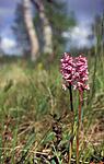 bb659 / Gymnadenia conopsea / Brudespore