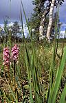bb660 / Gymnadenia conopsea / Brudespore