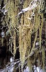 bb707 / Evernia divaricata / Mjuktjafs