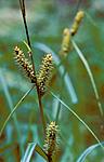 bb708 / Carex rhynchophysa / Blærestarr